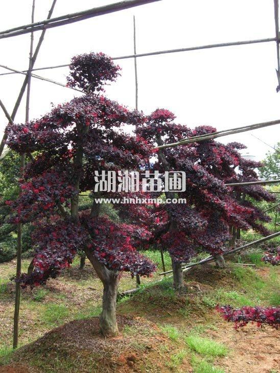 红花继木桩价格 查询请与我们联系