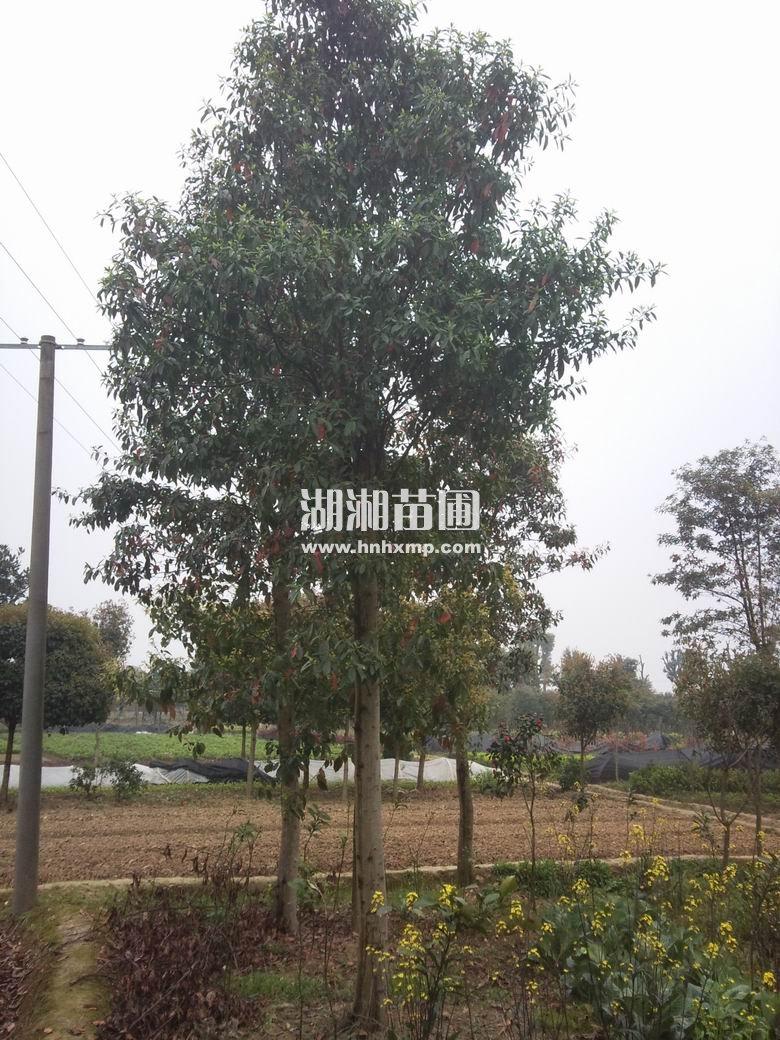杜英为常绿速生树种,材质好,适应性强,病虫害少.
